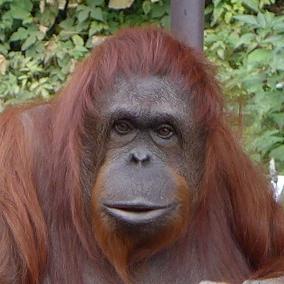 「オランウータン 画像」の画像検索結果