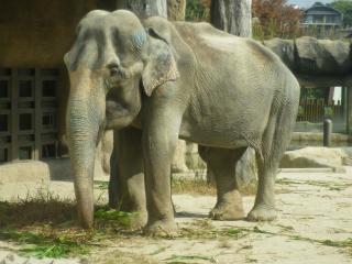 アジアゾウの画像 p1_31
